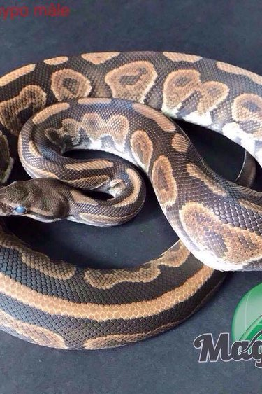 Magazoo Python royal black pastel het hypo male