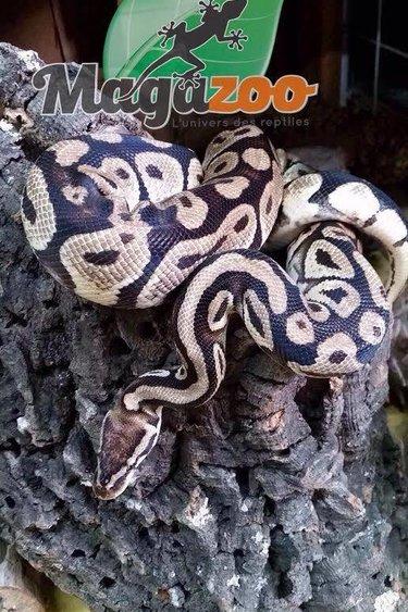 Magazoo Python Royal Pastel Mâle et Femelle