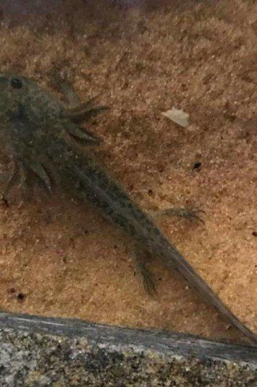 Magazoo Axolotl mexicain sauvage