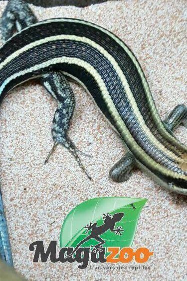 Magazoo Scinque a queue bleue mâle femelle