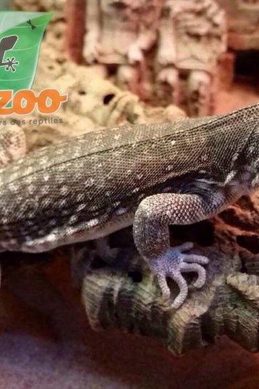 Magazoo Iguane désertique Américaine (sub-adulte) mâle