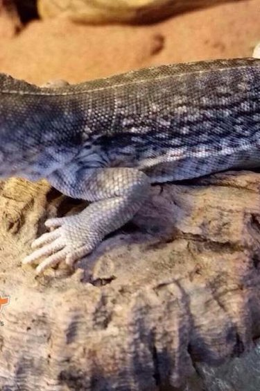 Magazoo Iguane désertique Américaine (sub-adulte) femelle
