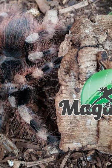 Magazoo Mygale brésilienne noir et gris femelle adulte