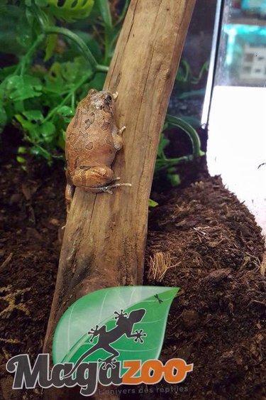 Magazoo Grenouille pygmé marbré