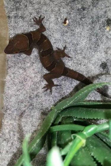 Magazoo Gecko à bandes
