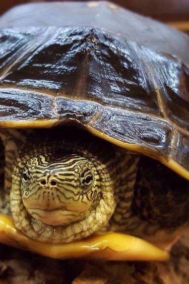 Magazoo tortue chinoise a cou rayé