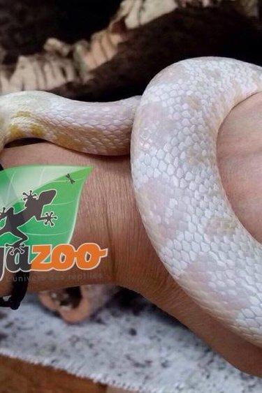 Magazoo Serpent des blés snow Femelle (sub-adulte)