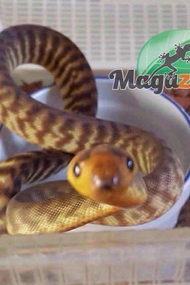 Magazoo Python Woma  Juvénil femelle