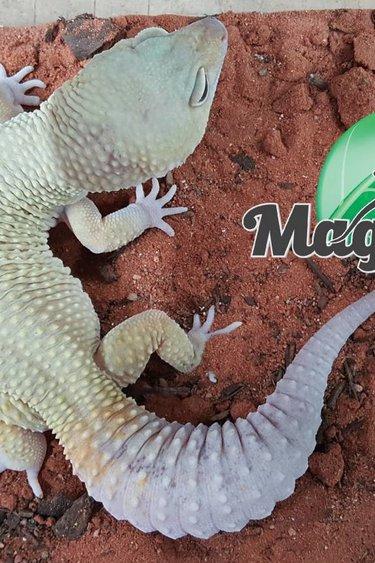 Magazoo Gecko Léopard Murphy Patternless Mâle adulte