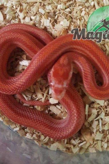 Magazoo Serpent des Blés albino rouge stripe bébé
