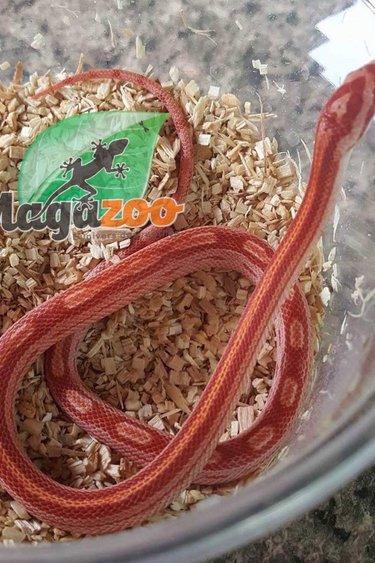 Magazoo Serpent des Blés Motley albino Stripe bébé