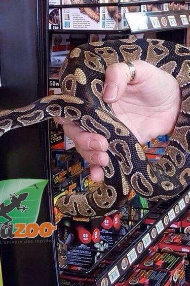 Magazoo Python royal régulier (femelle juvénile)