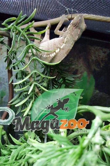 Magazoo Caméléon Panthere Ambilobe bébé femelle
