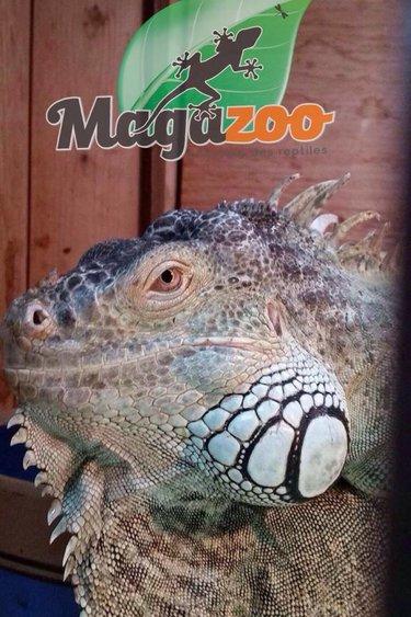 Magazoo Iguane vert adulte