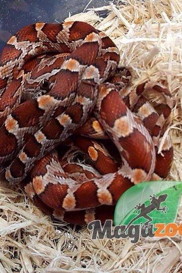 Magazoo Serpent des Blés Régulier bébé