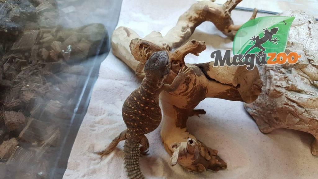 Magazoo Uromastyx égyptien Bébé né en captivité