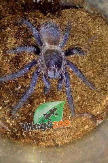 Magazoo Mygale Brésilienne bleue