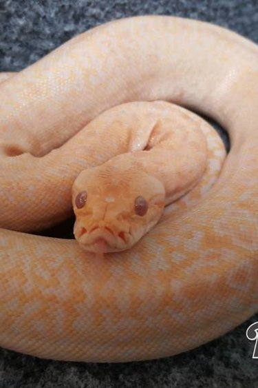 Magazoo Python Birmanie Albino Granite Bébé Mâle