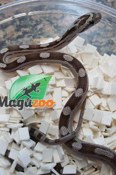 Magazoo Serpent des blés motley noir bébé