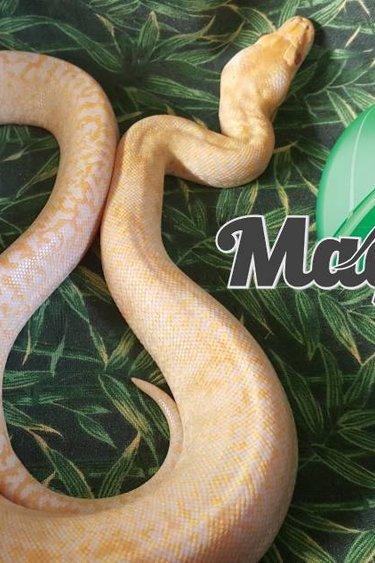 Magazoo Python Birmanie albino granite bébé Femelle