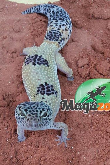 Magazoo Gecko léopard hight yellow adulte