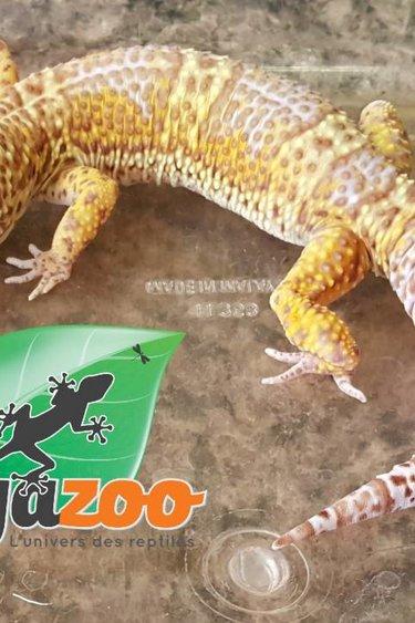 Magazoo Gecko léopard bell albino mâle adulte