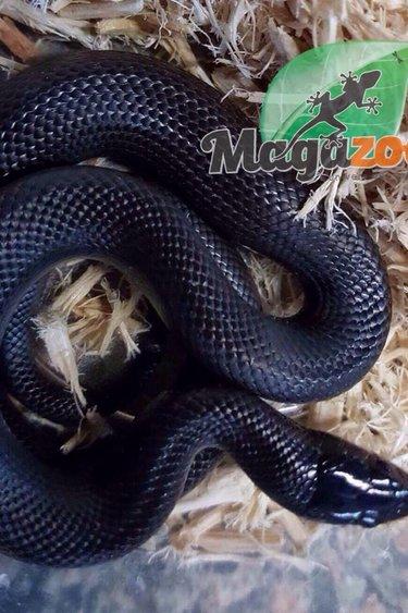 Magazoo Serpent noir du Mexique Bébé