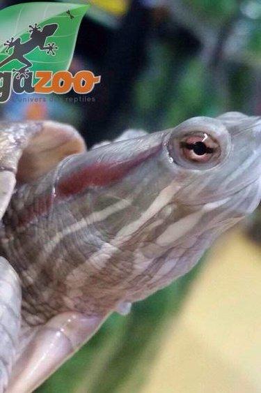 Magazoo Tortue à oreilles rouges hypomélanistique mâle adulte
