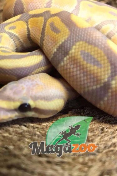 Magazoo Python royal banana male  bébé