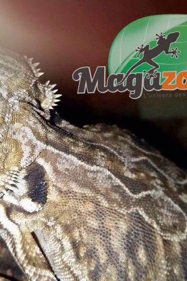 Magazoo Dragon barbu leatherback juvénile femelle