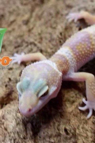 Magazoo Gecko léopard Mack Snow Albino Bébé