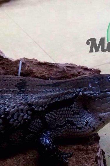 Magazoo Scinque à langue bleue femelle