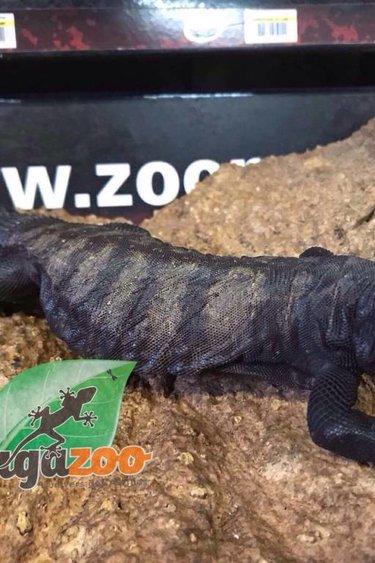 Magazoo Uromastyx à bande dispar mâle