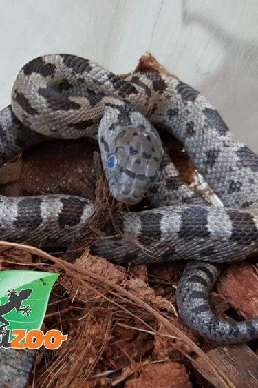 Magazoo Serpent ratier licorice X Jaune