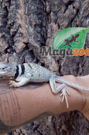 Magazoo Lézard a collier du désert femelle