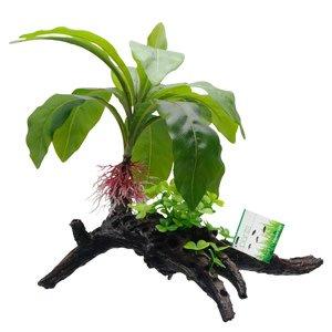 Fluval Plante anubias striée sur racines