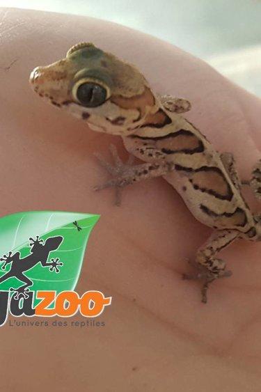 Magazoo Gecko panthère bébé né en captivité