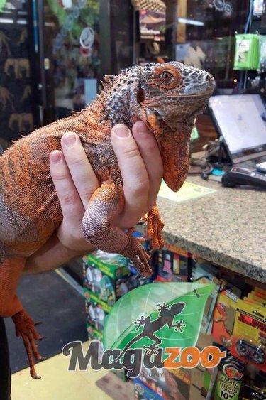 Magazoo Iguane Rouge femelle adulte