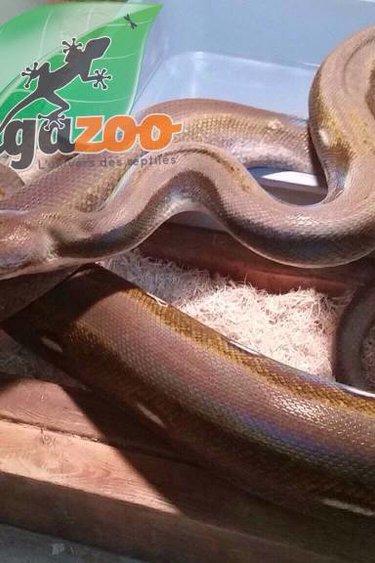 Magazoo Python réticulé titanium femelle juvénile 2015