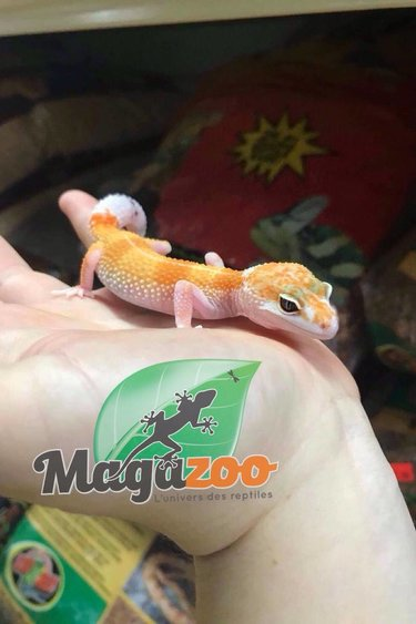 Magazoo Gecko léopard W&Y  high orange bébé