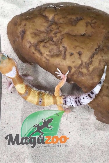 Magazoo Gecko léopard W&Y hypo tangerine bébé