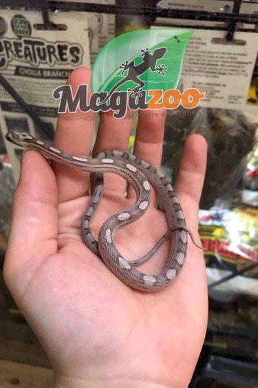 Magazoo Serpent des blés Black Motley