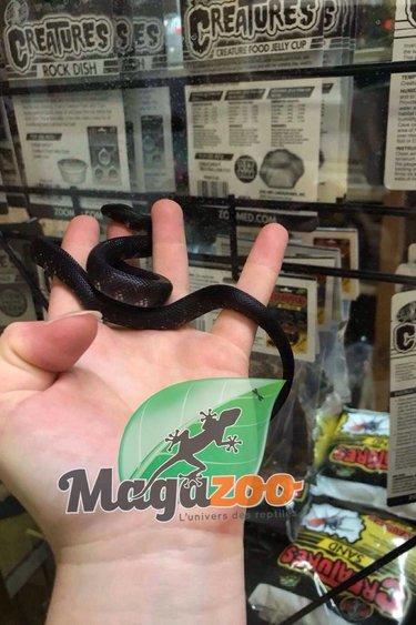 Magazoo Serpent roi de Californie (chocolat)