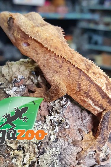 Magazoo Gecko à crête arlequin pin stripe femelle juvénile (pas de queue)