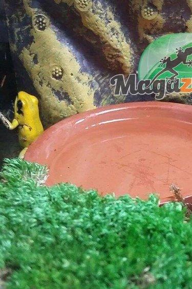 Magazoo Grenouille poison bicolore à pattes noires - Dendrobate bicolore