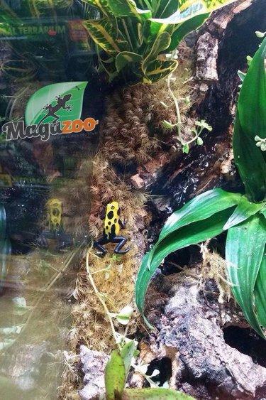Magazoo Grenouille poison citronnelle - Dendrobate citronella poison dart  frog