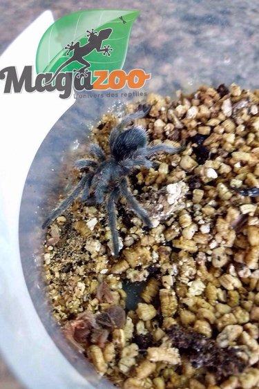 Magazoo Mygale noir du Brésil (bébé,femelle)/Grammostola pulchra