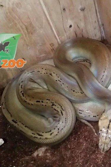 Magazoo Python réticulé super motley het purple albino femelle  2016