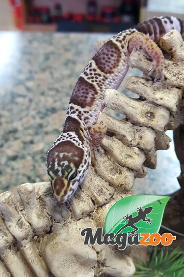 Magazoo Gecko léopard tremper albino mack snow chocolat bébé