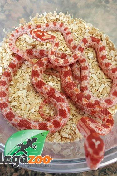 Magazoo Serpent des blés albino rouge bébé
